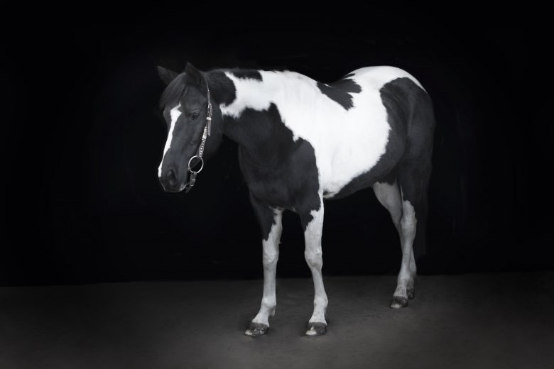 black background horse equine portrait photography picture bbg