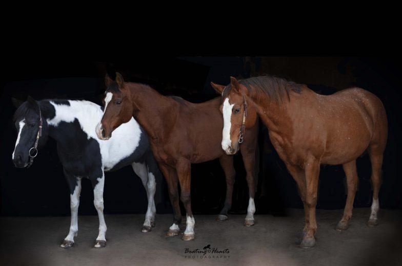 lesson horses, black background, fine art equine portrait, horse photography salem oregon